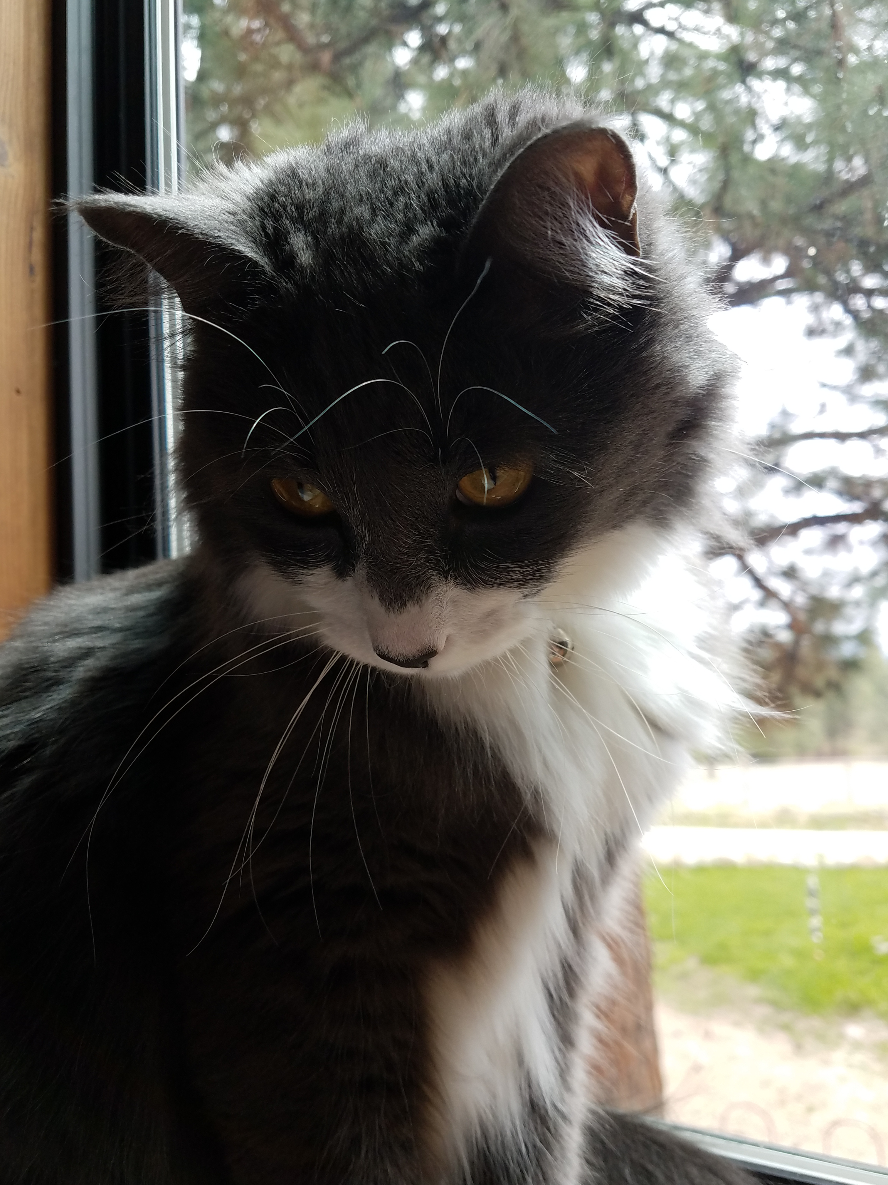 Spur, our gray and white cat, sits in the window above my desk.  Photo:  Theresa Duncan