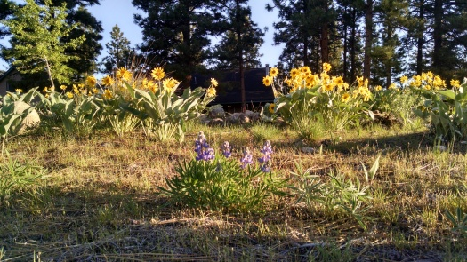 Blooming arrowleaf balsamroot and lupine across the road from my house.  Photo taken May 3, 2016 by Theresa Duncan.