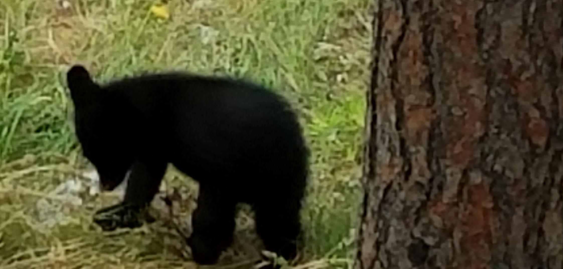Black bear cub.  (Photo:  Theresa Duncan)